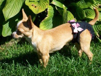 Couche culottes hygiéniques haut de gamme pour chiens femelles.