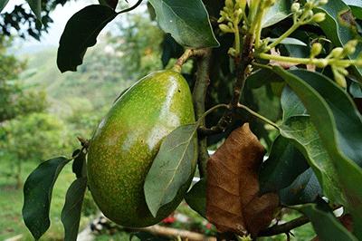 Avocado Olie koudgeperst