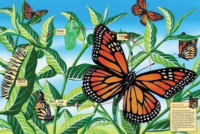 Puzzle - Life Cycle of a Monarch