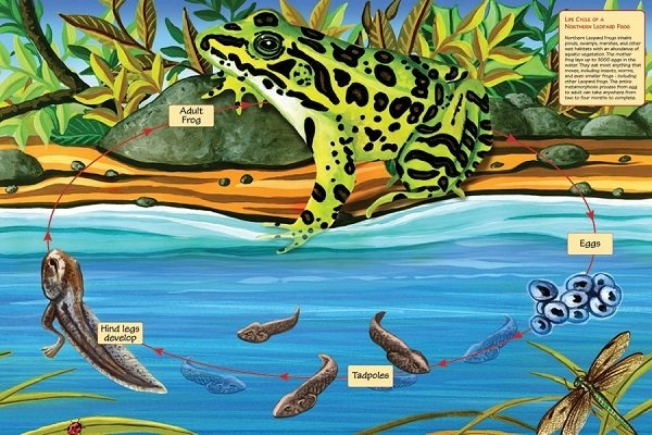 Puzzle - Life Cycle of a Leopard Frog