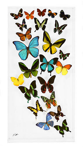 "23 - 15"" X 30"" Butterfly Display"