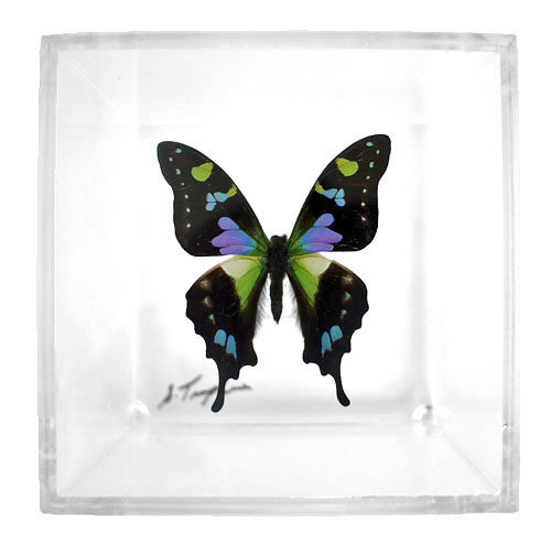 "01 - 4"" X 4"" Square Butterfly Display With One Butterfly"
