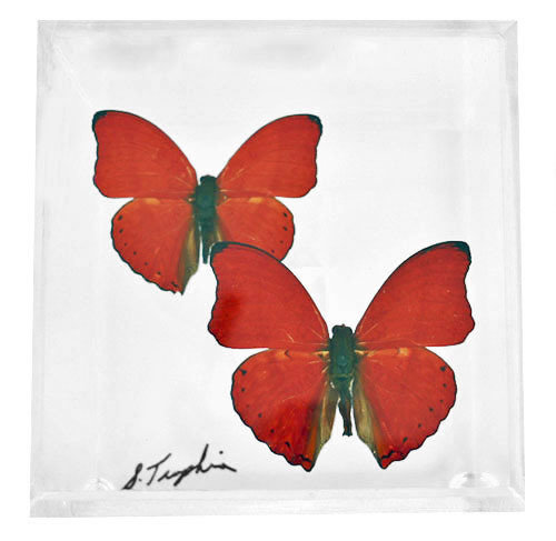 "02 - 4"" X 4"" Square Butterfly Display With Two Butterflies"