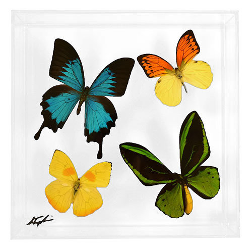 "12 - 10"" x 10"" Butterfly Display With Four Butterflies"