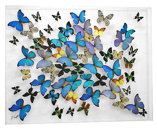"29 - 33"" X 42"" Butterfly Display"