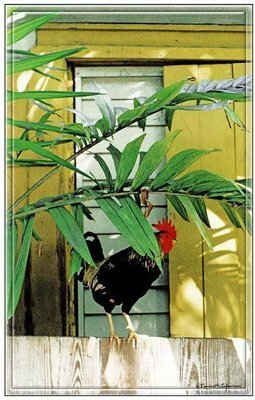 ROOSTER IN PALM LEAVES * 7'' x 11''