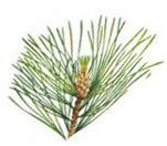 Cedarwood 100% Pure Essential Oil