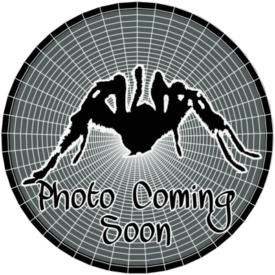 Avicularia avicularia M6 (hobby A. metallica)