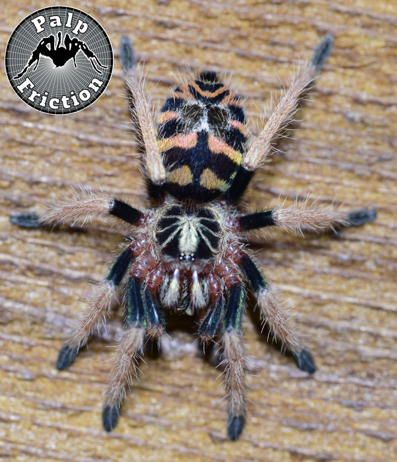 "Theraphosinae sp ""Colombia"" (1-1.25"")"