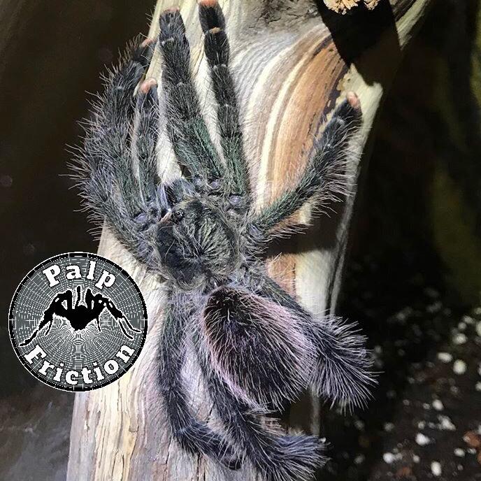 Avicularia juruensis M1
