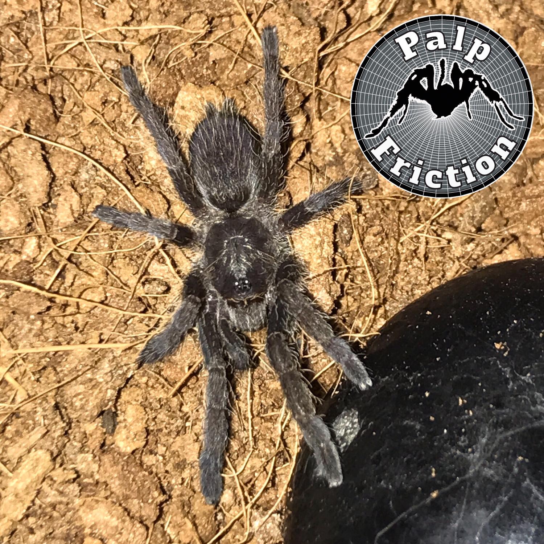 """Ceratogyrus meridionalis """"Zimbabwe Grey Baboon"""""""