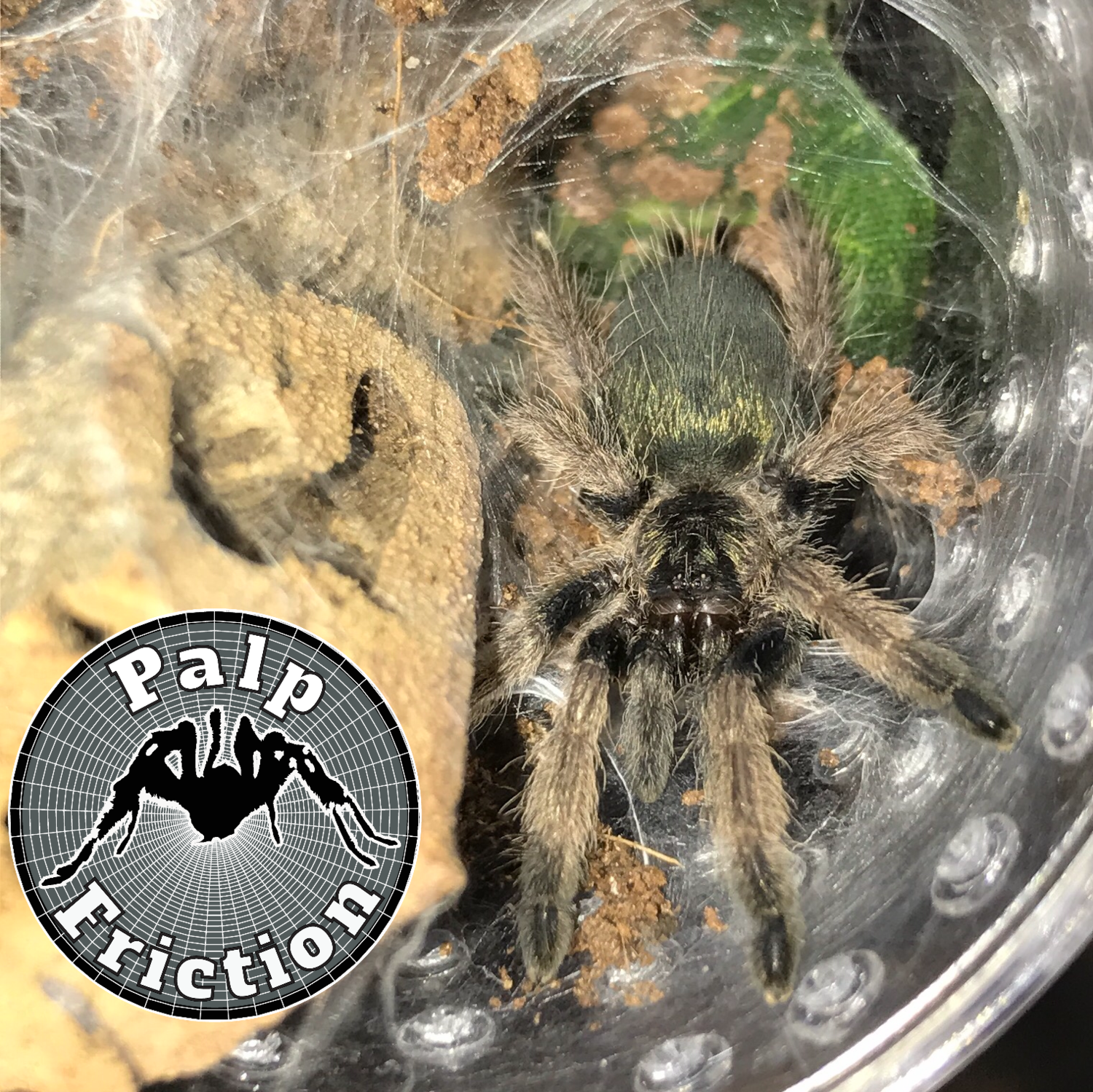 "Psalmopoeus pulcher ""Panama Blonde"" - WHOLESALE"