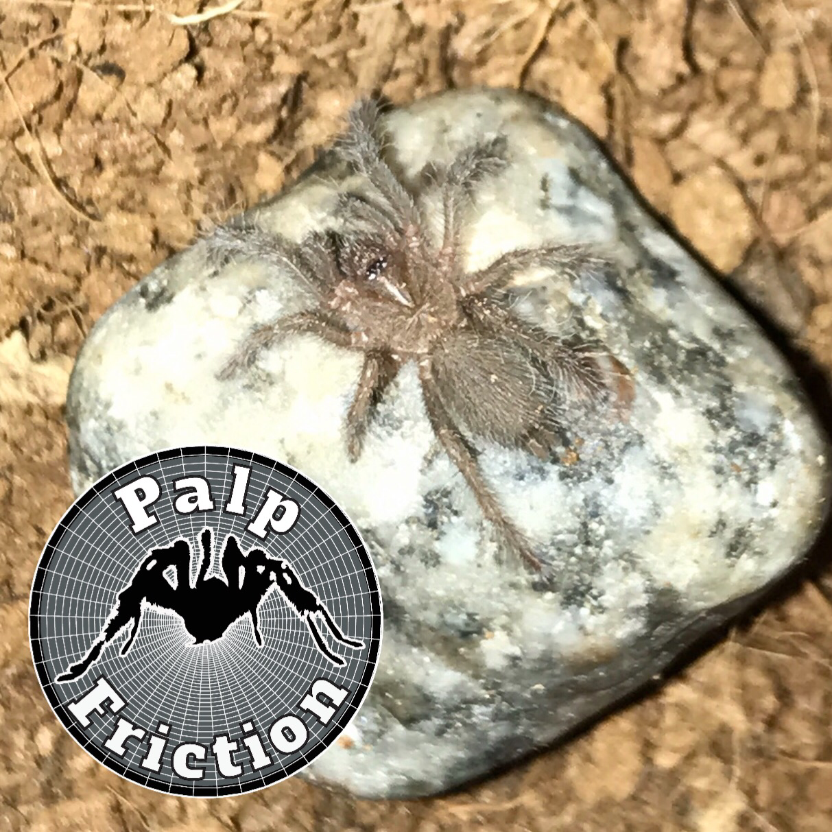 """Hysterocrates gigas """"Cameroon Red Baboon"""" - WHOLESALE"""