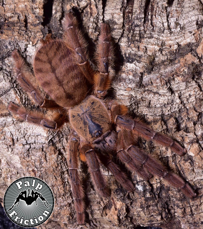 """Phormingochilus sp """"rufus"""""""