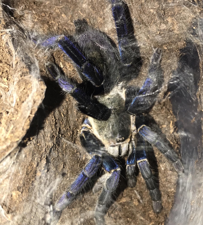 Cyriopagopus lividus adult female (Cobalt blue)