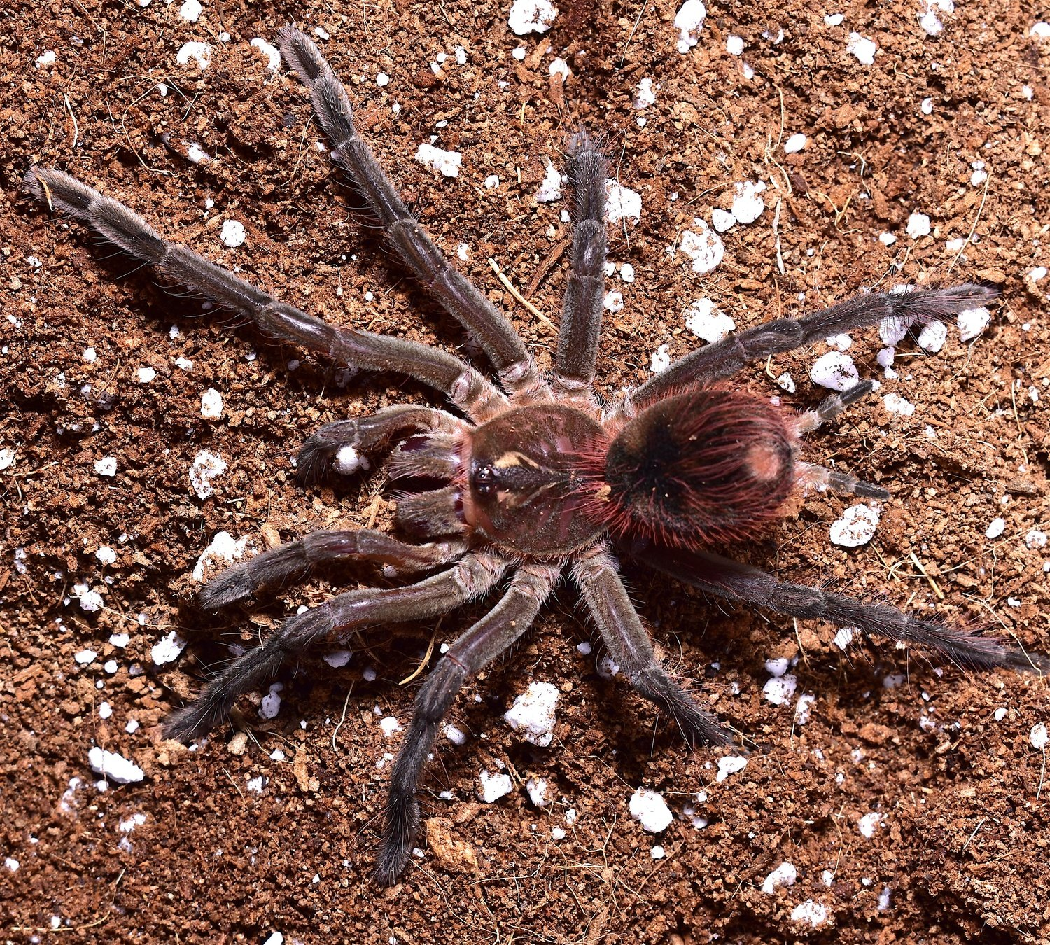 "Pamphobeteus petersi ""Peruvian Red Bloom birdeater"" female"