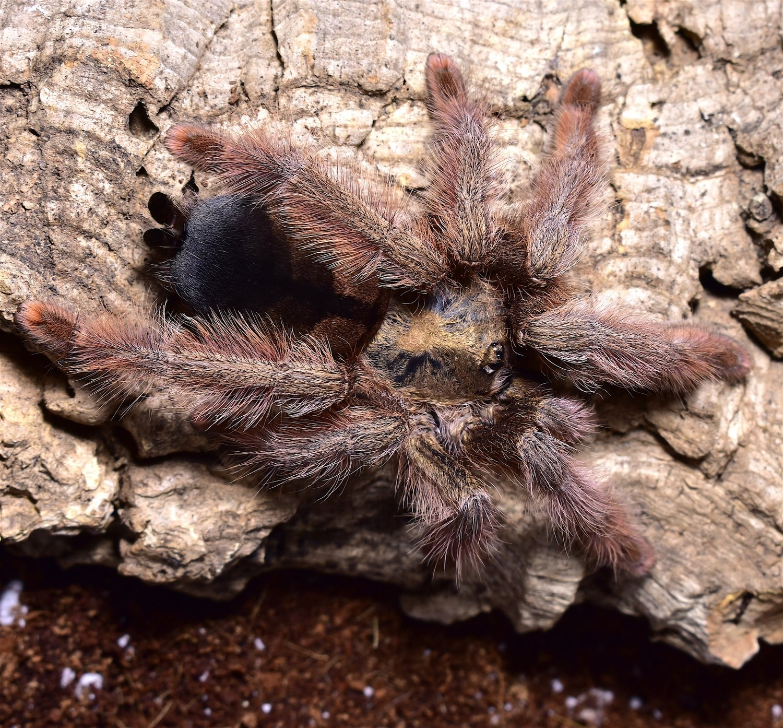 Psalmopoeus pulcher female