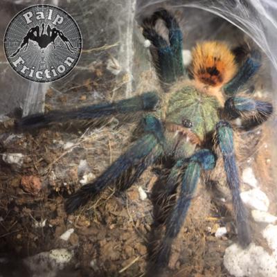 "Chromatopelma cyaneopubescens ""Greenbottle Blue"" ""GBB"""