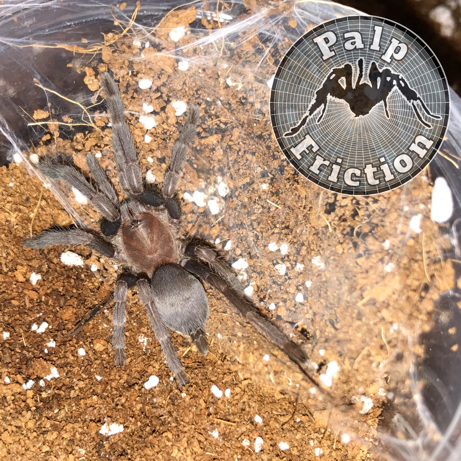 "Selenocosmia crassipes ""Australian whistling spider"" female"