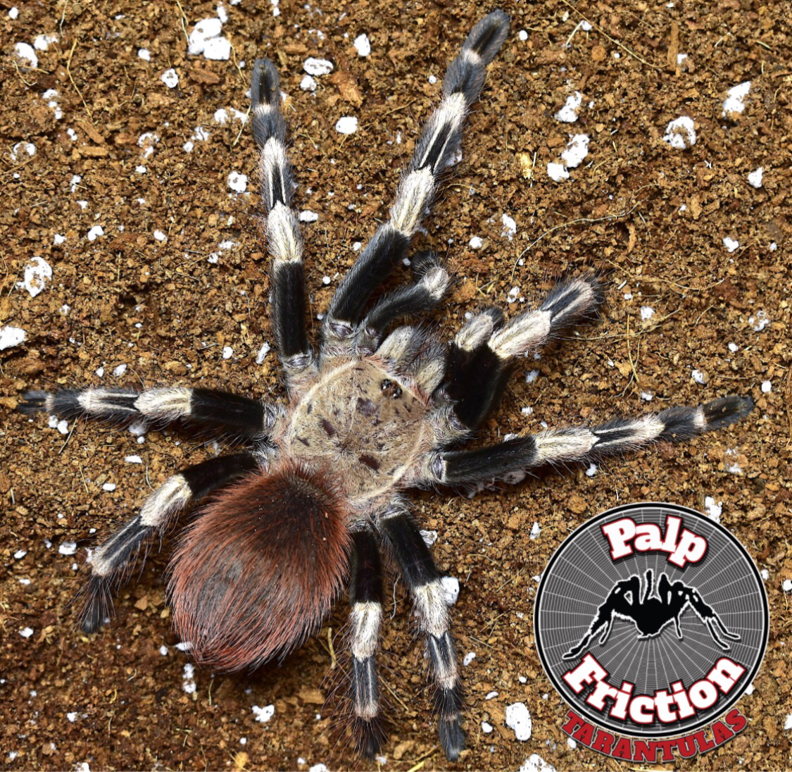 "Nhandu chromatus ""Brazilian Red and White Tarantula"""