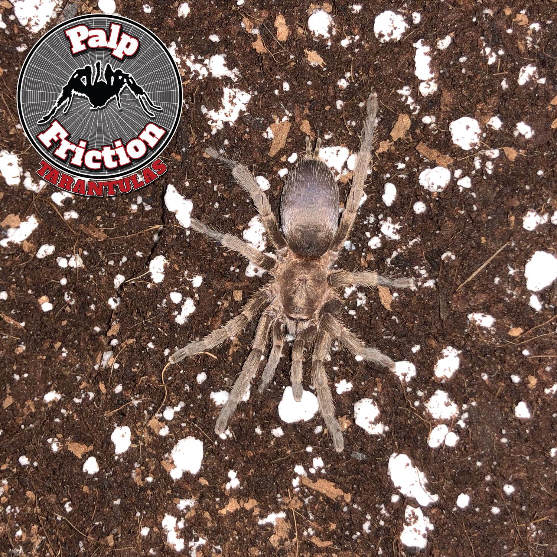 """2"""" Catumiri argentinensis female"""