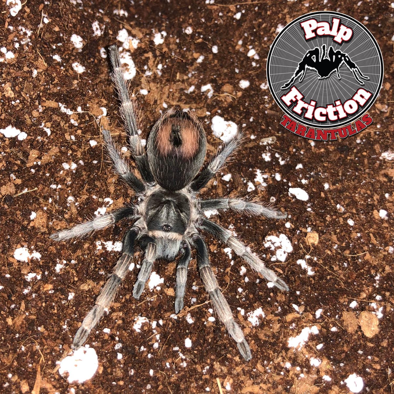 "2"" Lasiodorides polycuspulatus ""Peruvian Blonde"" female"