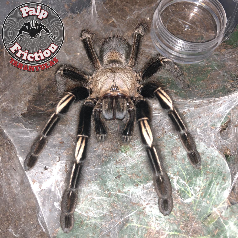 """Ephebopus murinus """"skeleton tarantula"""""""