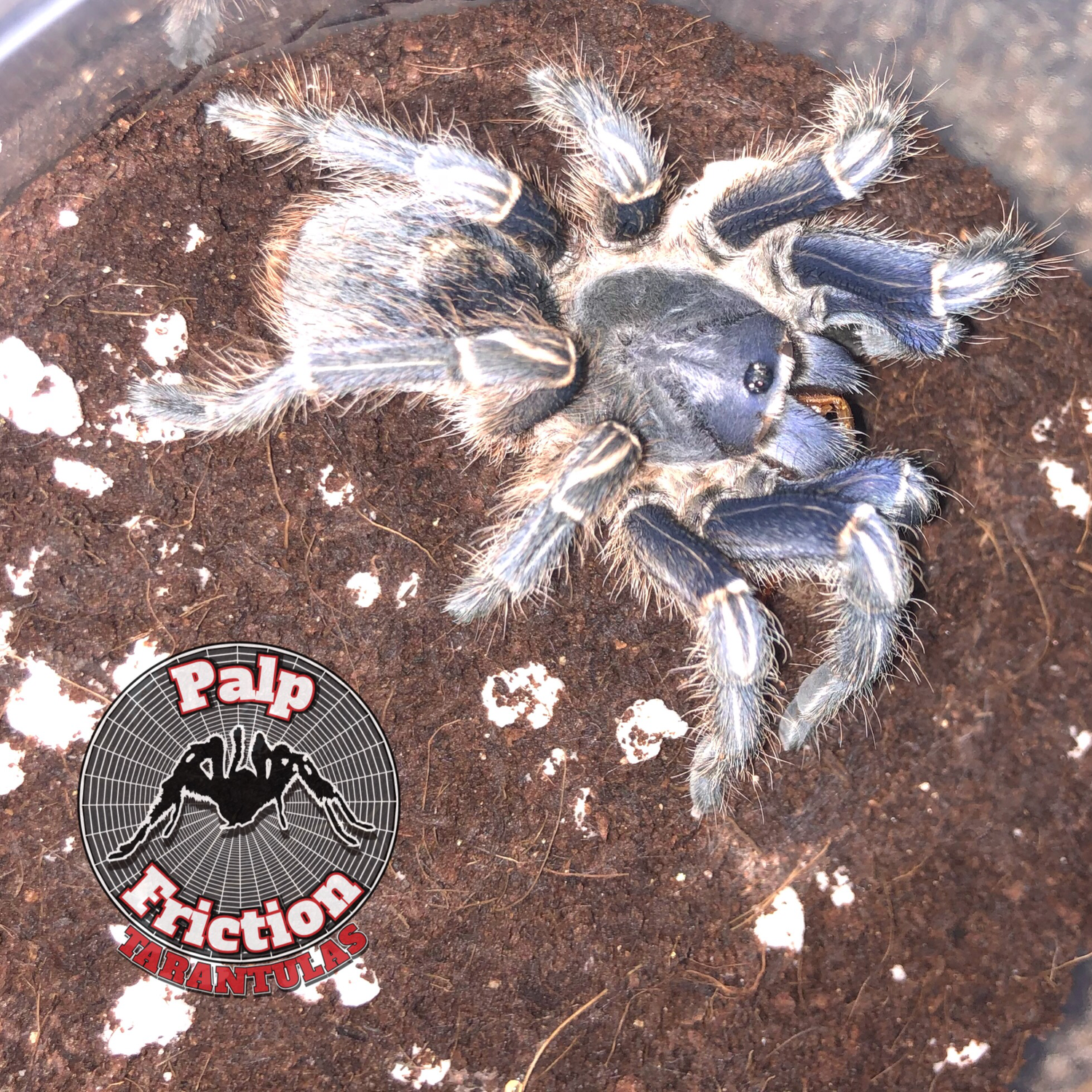 "Aphonopelma seemanni female ""Costa Rican Stripe Knee"""