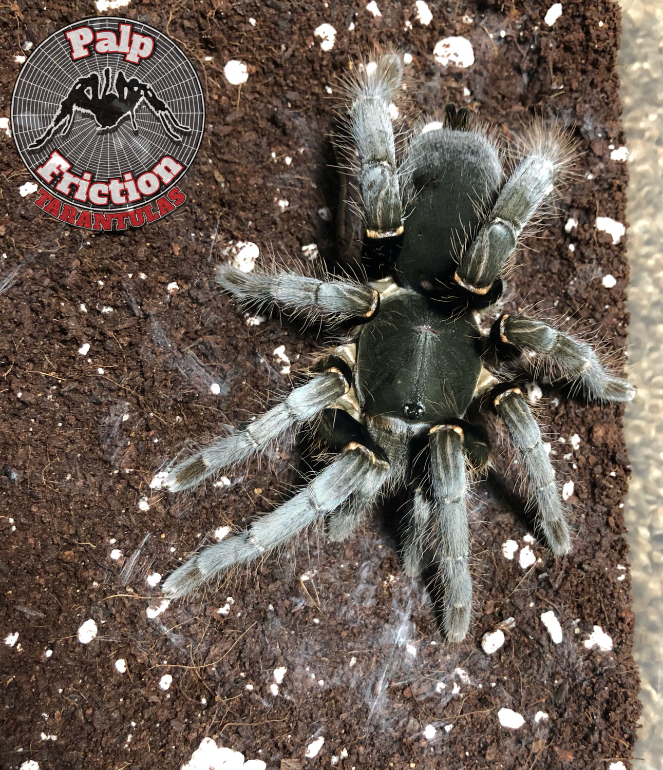 "4"" Hysterocrates gigas female ""Cameron Red Baboon"""