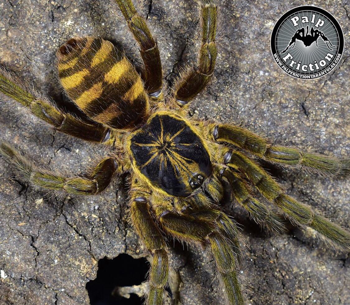 "2.5"" Neoholothele fasciaaurinigra ""Bumblebee Tarantula"" female"