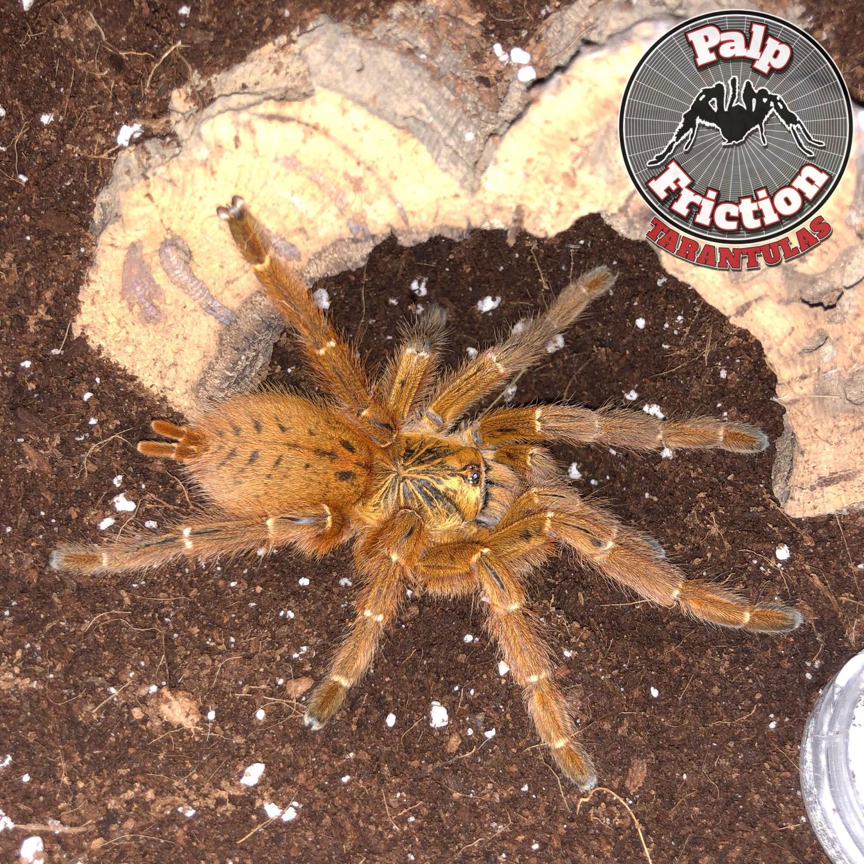 """3""""+ Pterinochilus murinus Usumbara female (OBT)"""