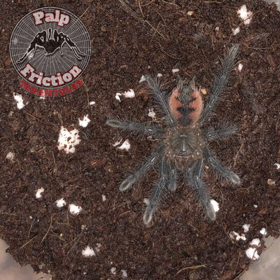 Pamphobeteus sp