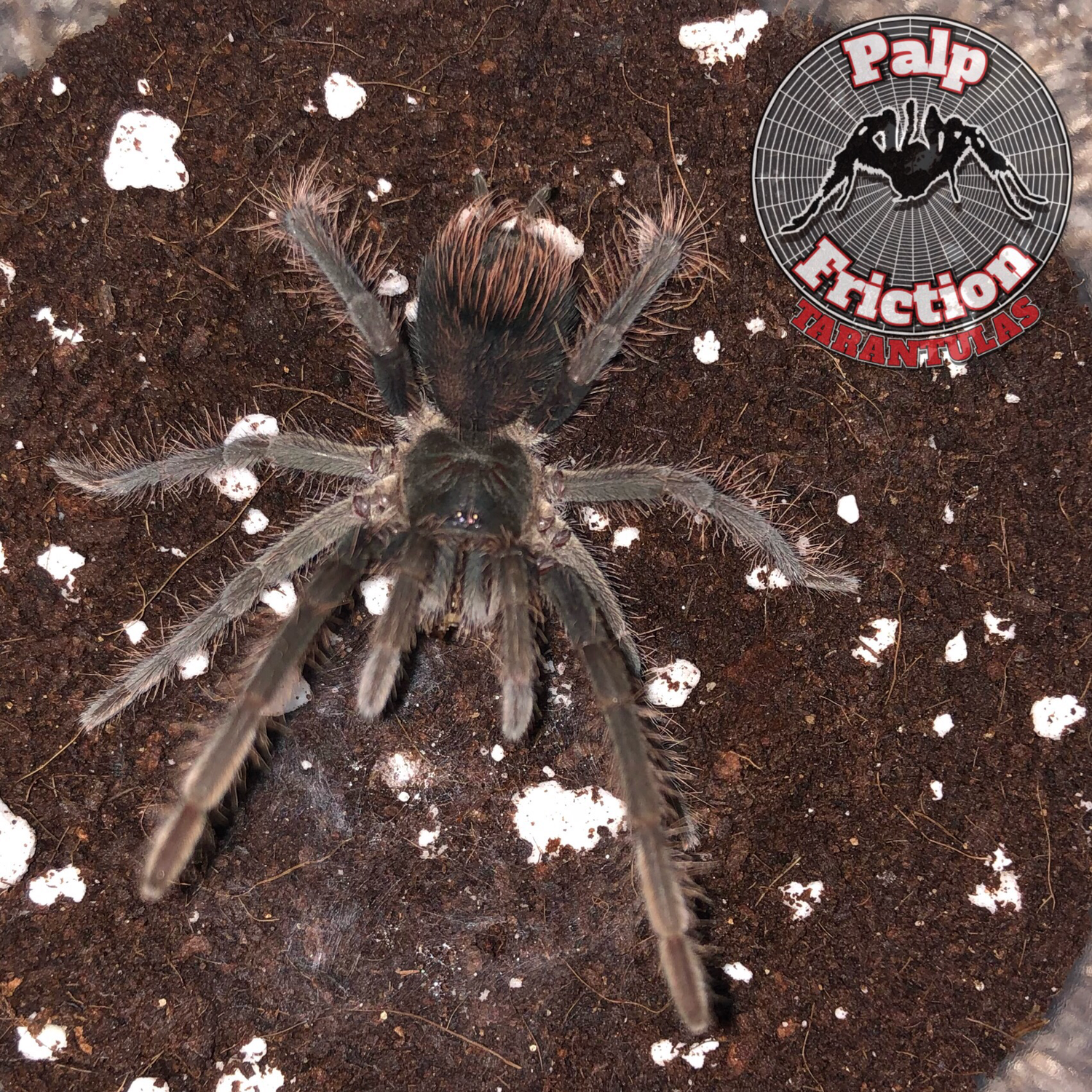 "2"" Pamphobeteus cf antinous ""Peru"" female"
