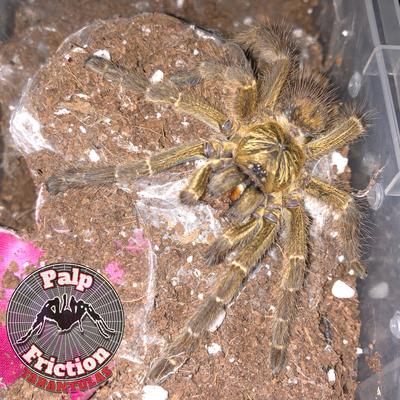 "Pterinochilus murinus ""Tete"""