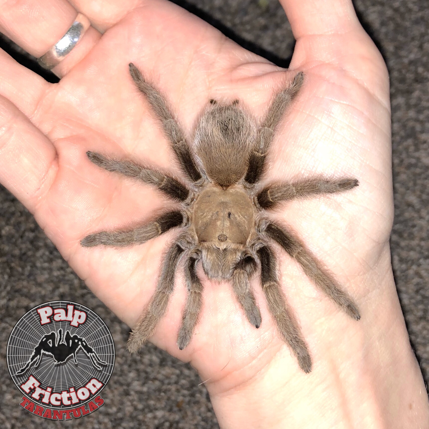 "Aphonopelma hentzi ""Texas Brown Tarantula"" - WHOLESALE"