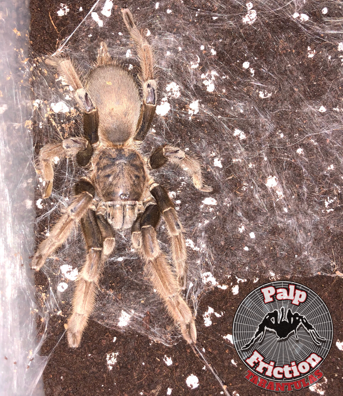"Chilobrachys dyscolus ""black"""