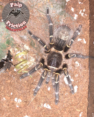 "Grammostola pulchripes ""Chaco Golden Knee"""