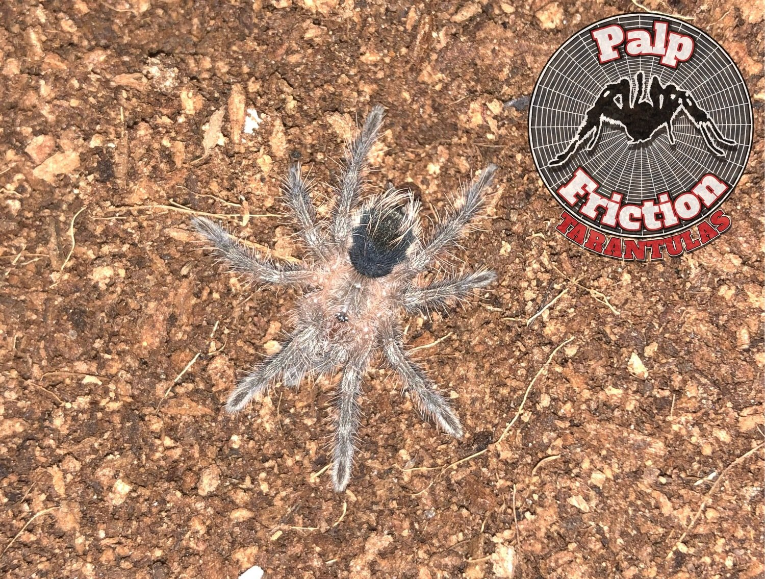 "Pamphobeteus fortis ""Colombian Giant Brown"""