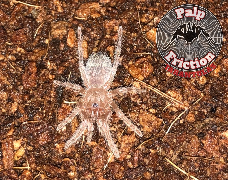 """Nhandu carapoensis """"Brazilian Red Tarantula"""""""