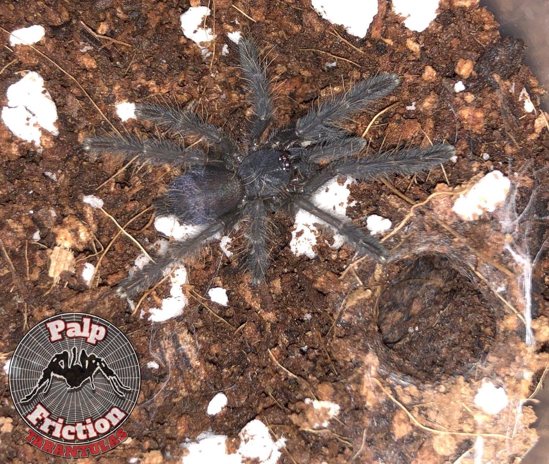 "Phormingochilus sp ""ackaya"""