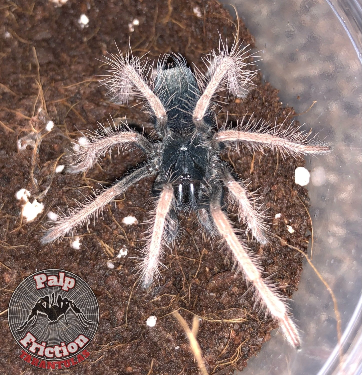 "Xenesthis sp ""white"""