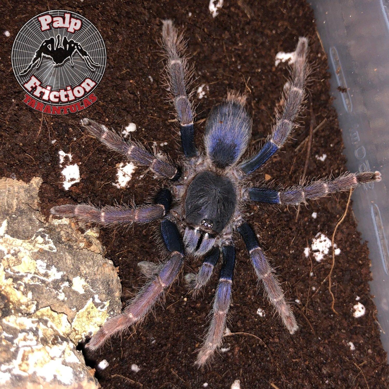 "Psednocnemis brachyramosa ""Maylasian Blue femur"" female"