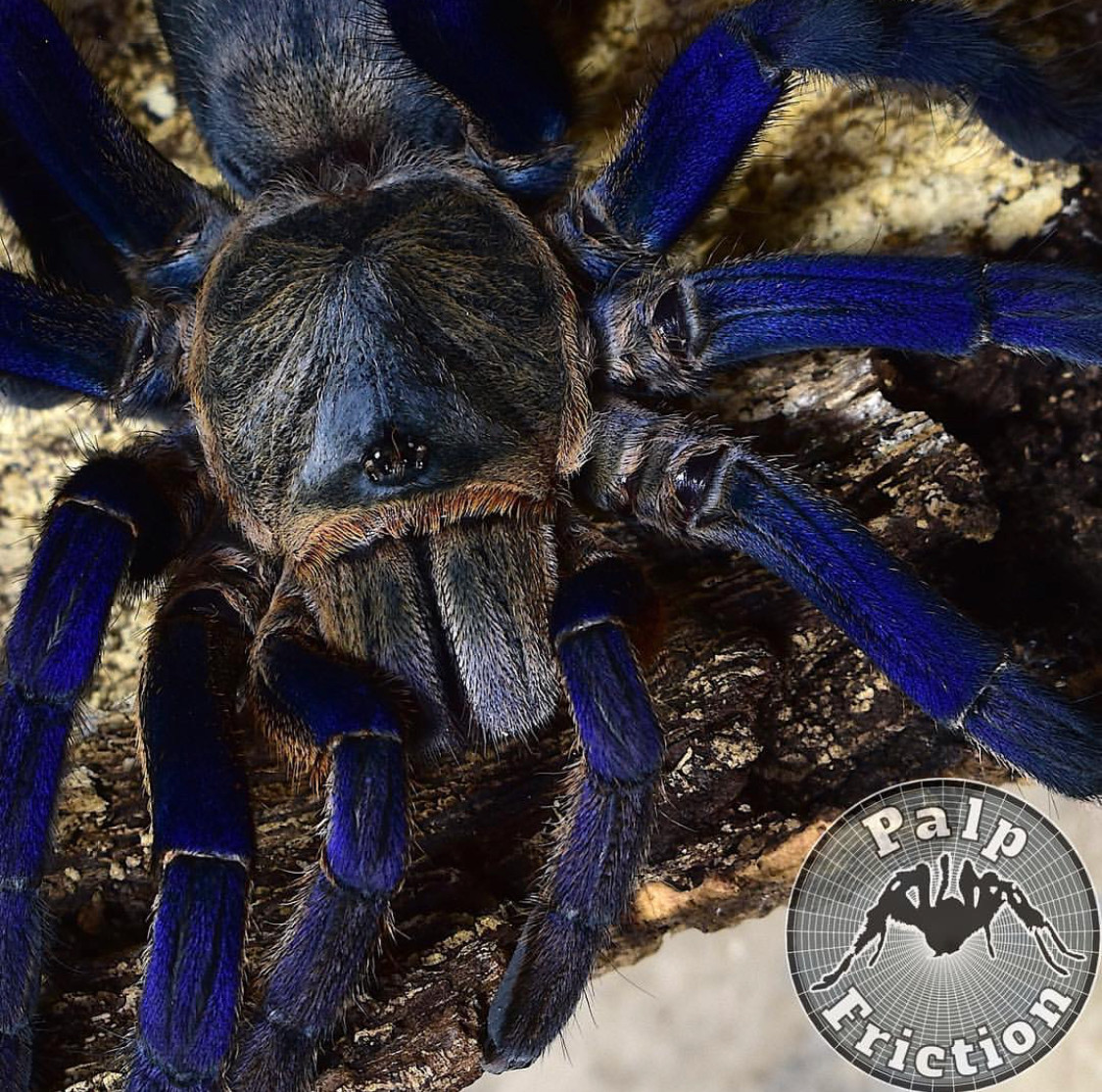 "Cyriopagopus lividus adult female ""Cobalt blue"""