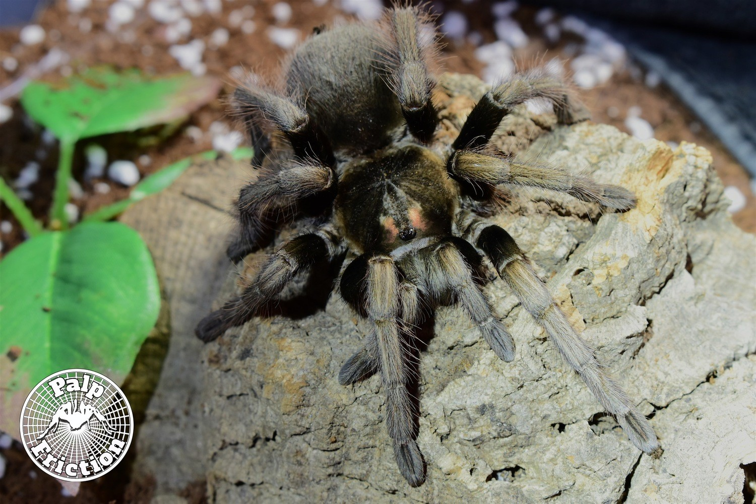 "Pamphobeteus ultramarinus ""Ecuadorean Birdeater"""
