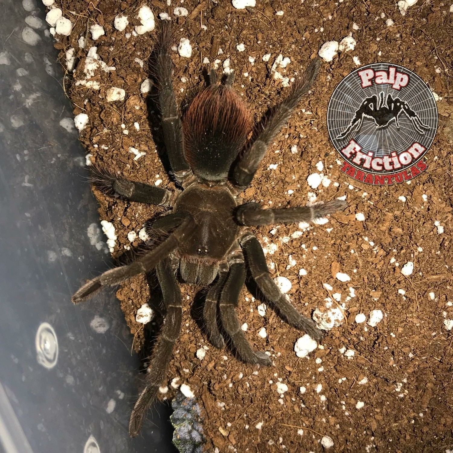 "Pamphobeteus cf antinous ""Peru"" ""Steely Blue Leg"""