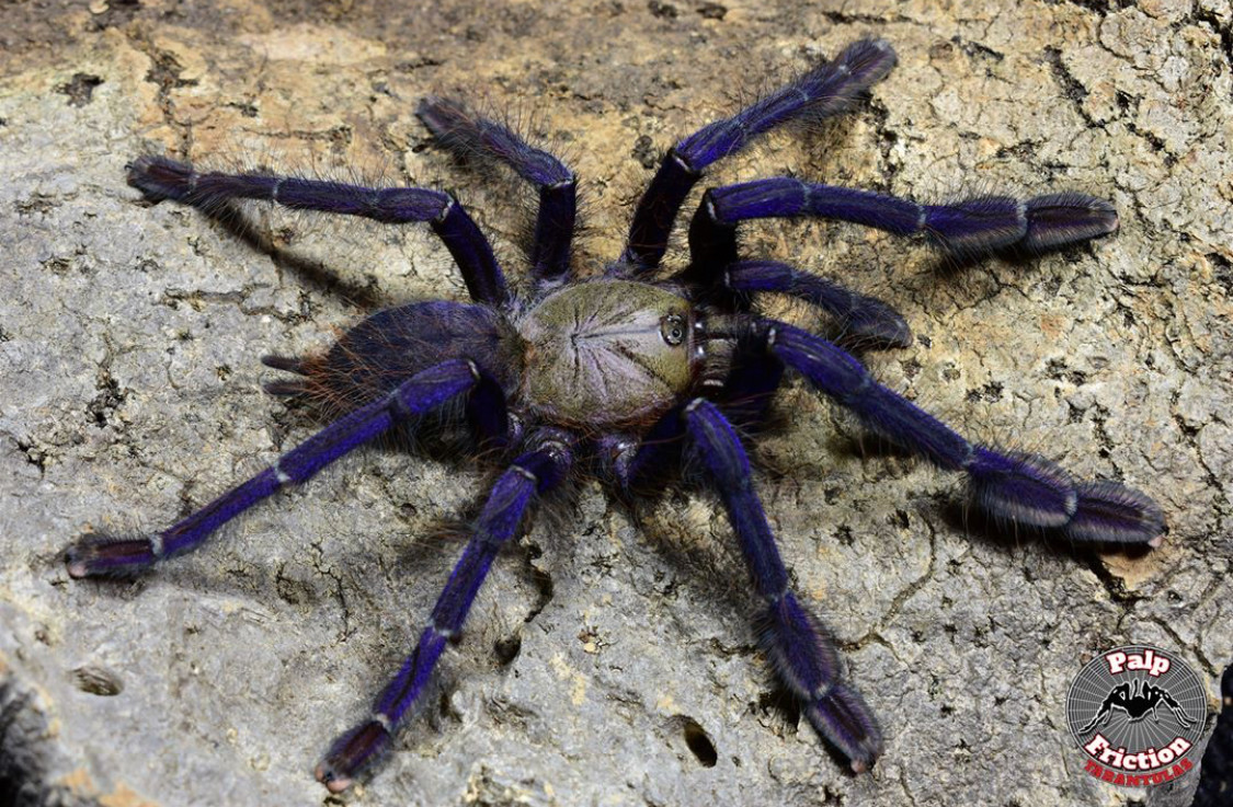 """Lampropelma violaceopes """"Singapore blue"""""""