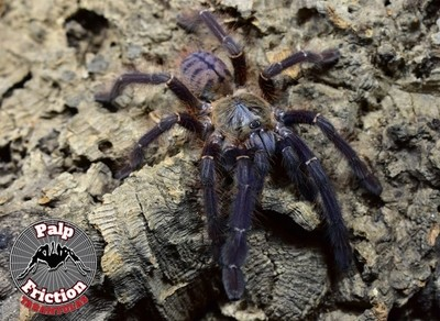 """Phormingochilus sp """"Sabah blue"""""""