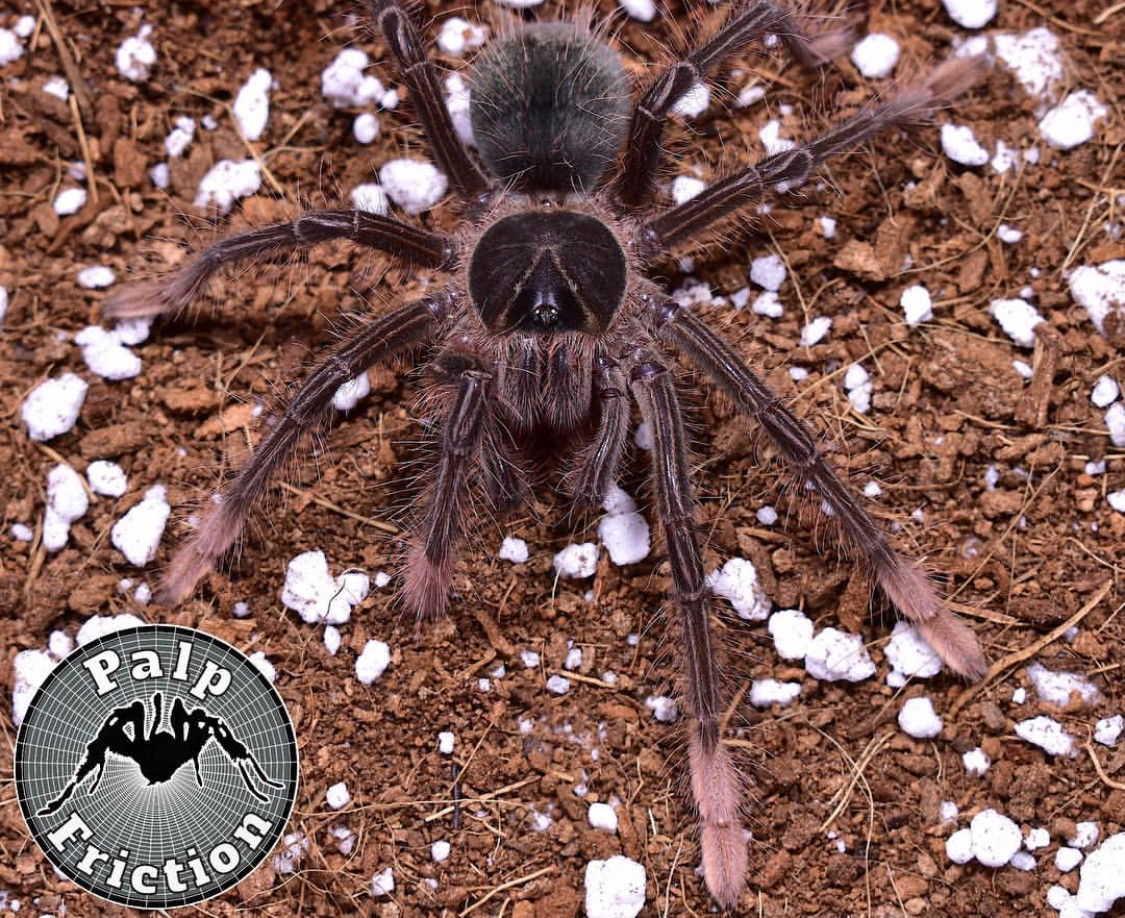 "Theraphosa apophysis ""Goliath Pink Foot Birdeater"""