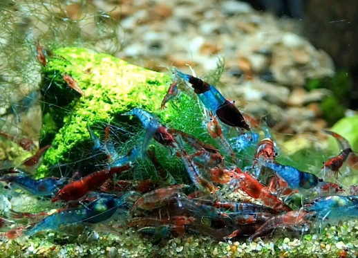 10 Blue Rili - Neocaridina davidi