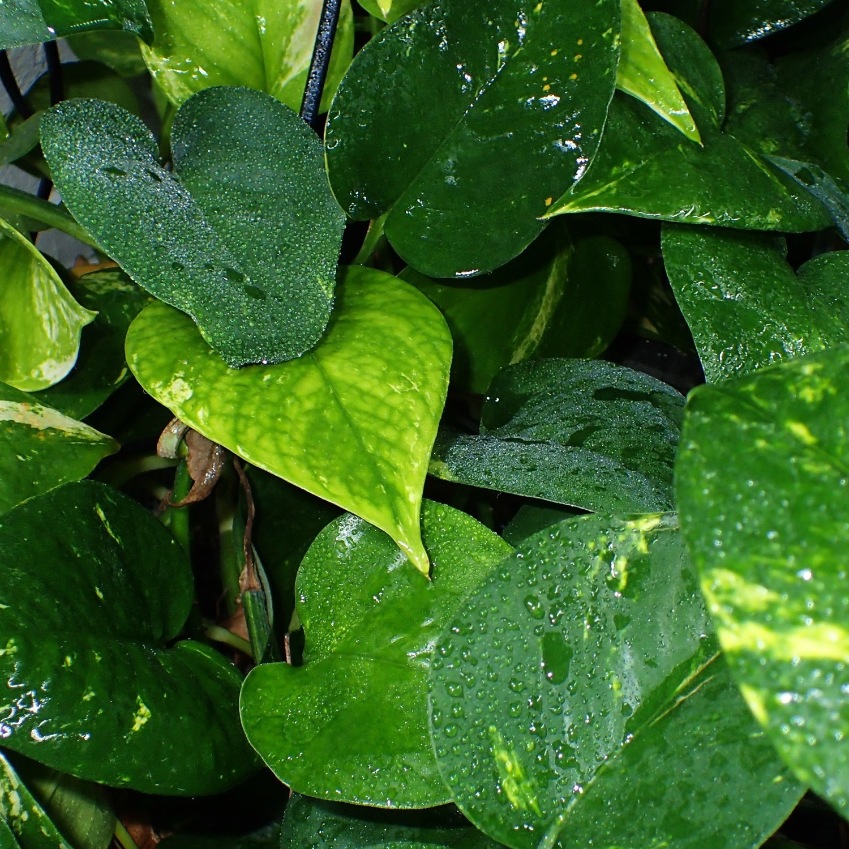 Pothos Cutting (Terrestrial Plant)